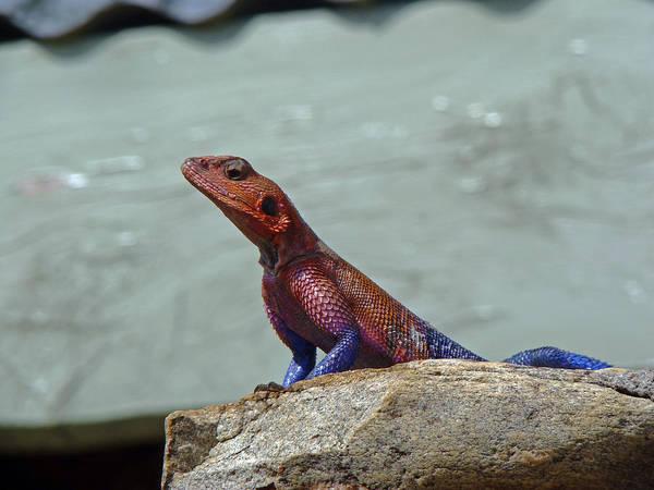 Photograph - Agama Lizard by Tony Murtagh