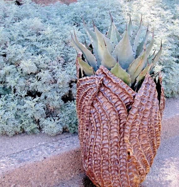 Photograph - Agave Blues by Marilyn Smith