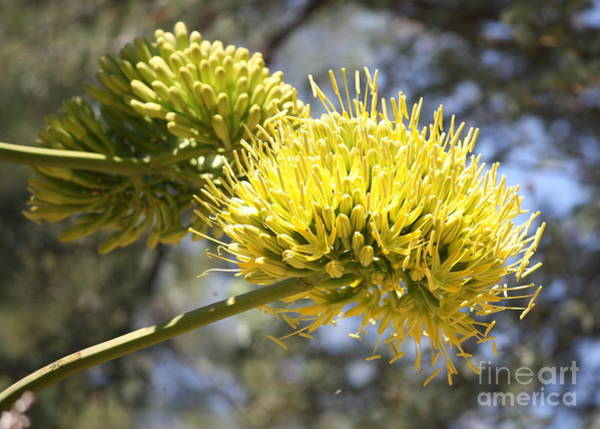 Photograph - Agave Flowers by Carol Groenen