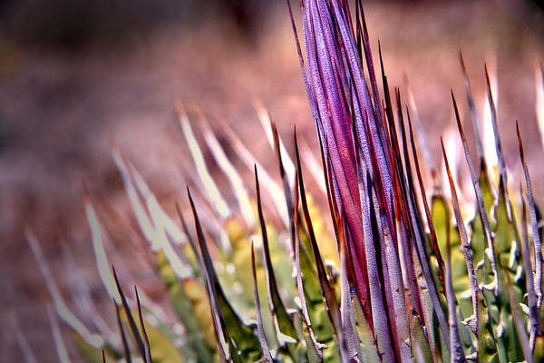Photograph - Agave by Mark  Ross