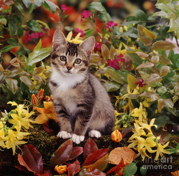 Photograph - Agouti Tabby Kitten by Jane Burton