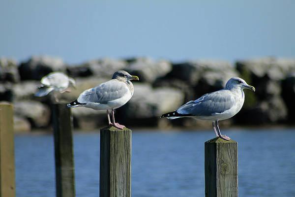 Photograph - Alcona Marina Seagulls 11 by Scott Hovind