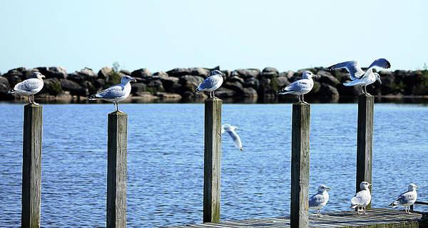 Photograph - Alcona Marina Seagulls 12 by Scott Hovind