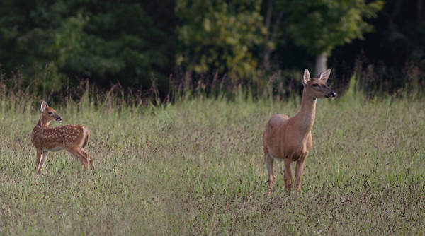 Photograph - Alert Doe And Fawn by Daniel Reed