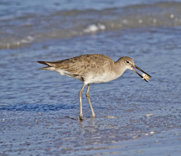 Sandpiper Photograph - All In A Day by Betsy Knapp