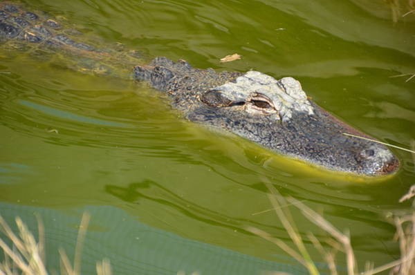Photograph - Alligator by Randy J Heath