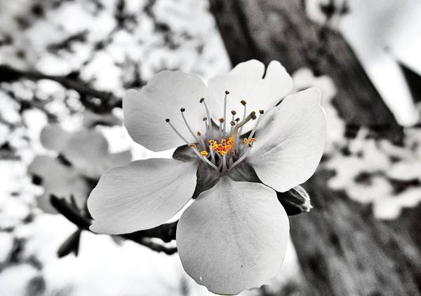 Photograph - Almond Blossom by Marianna Mills