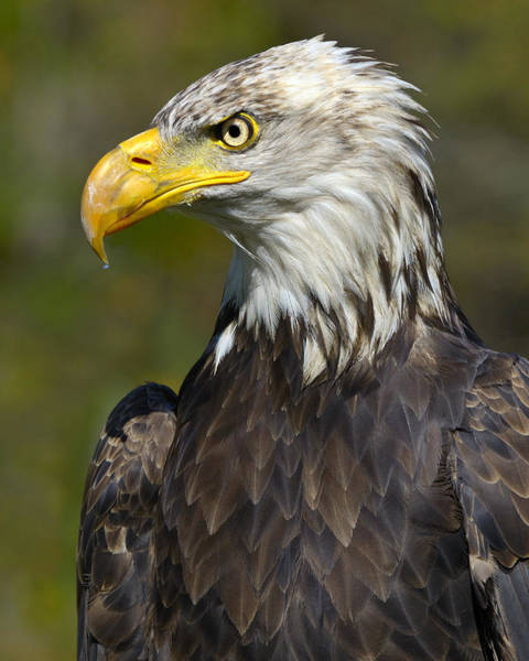 Photograph - Almost There - Bald Eagle by Tony Beck