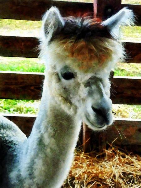 Photograph - Alpaca Closeup by Susan Savad