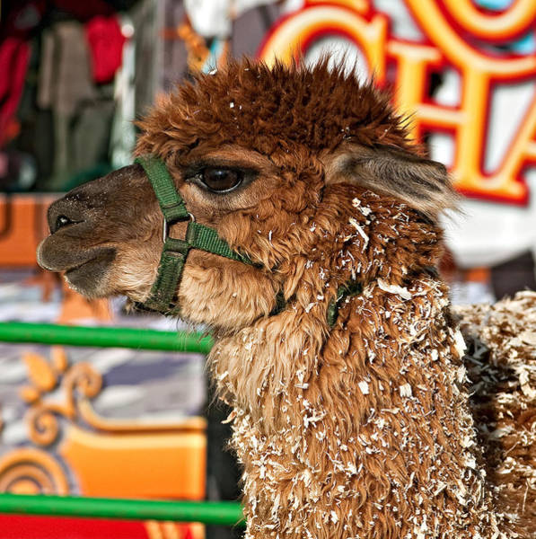 Petting Zoo Photograph - Alpaca by Steve Harrington
