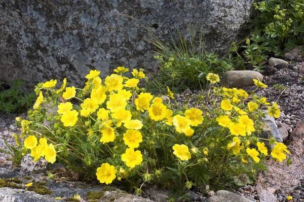 Cinquefoil Photograph - Alpine Cinquefoil (potentilla Crantzii) by Duncan Shaw
