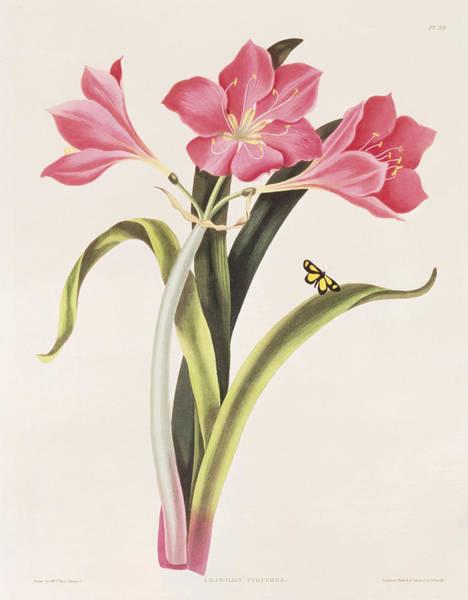 Amaryllis Painting - Amaryllis Purpurea by Robert Havell