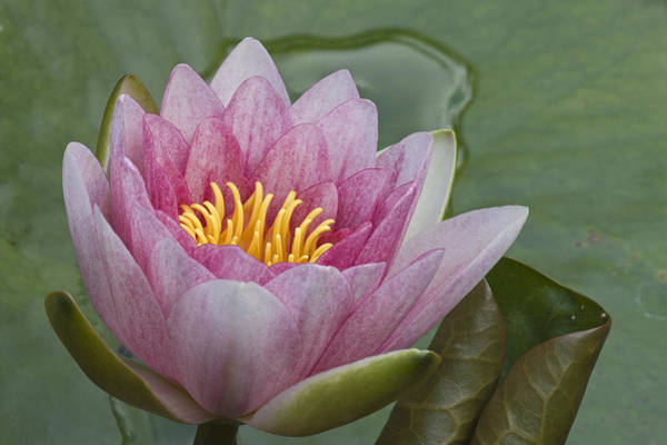 Photograph - Amazon Water Lily Victoria Amazonica by Joke Stuurman