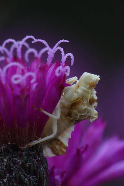 Ambush Bug On Tall Ironweed Art Print