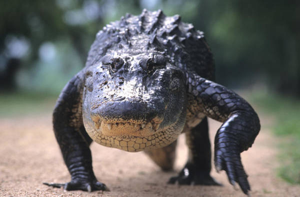 Brazos Bend State Park Wall Art - Photograph - American Alligator Walking On A Trail by Philippe Henry