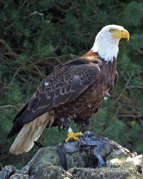 American Bald Eagle Art Print by Kathy Eastmond