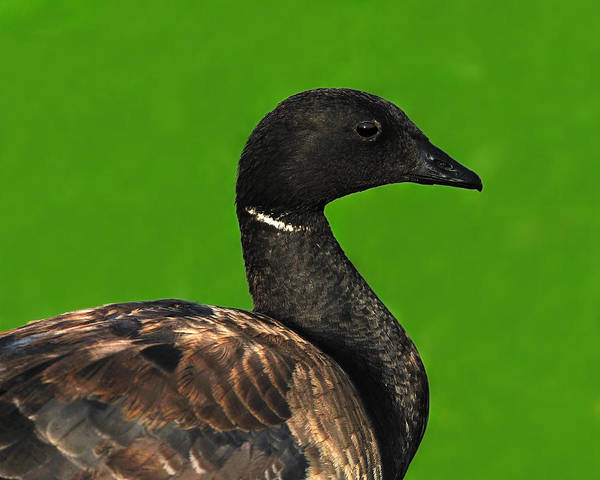 Gander Photograph - American Brant by Tony Beck