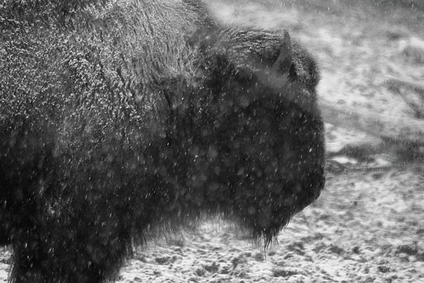 Photograph - American Buffalo 1 by Scott Hovind