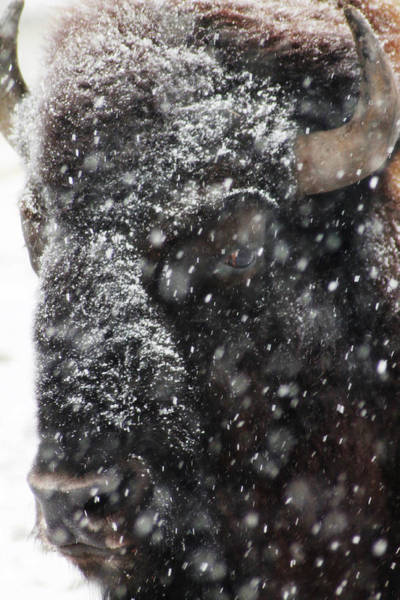 Photograph - American Buffalo 2 by Scott Hovind