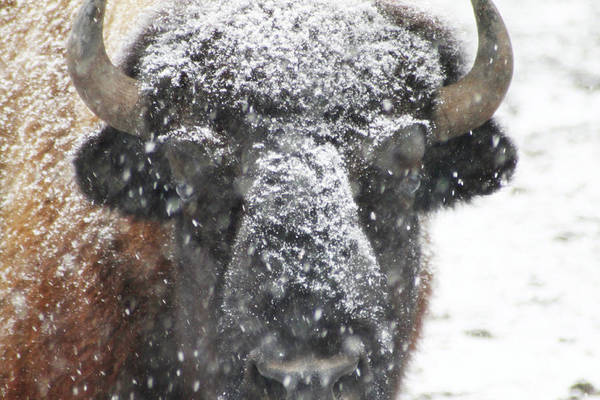 Photograph - American Buffalo 3 by Scott Hovind