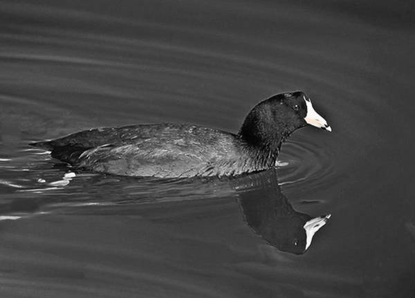 Photograph - American Coot by Bob and Nadine Johnston
