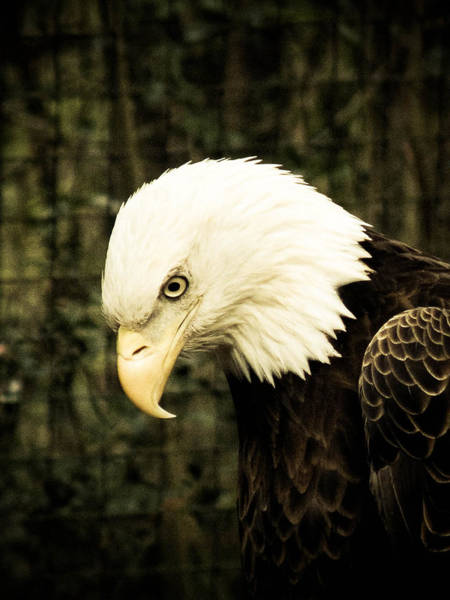 Photograph - American Eagle by Trish Tritz