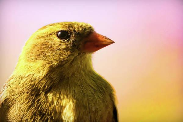 Tweets Photograph - American Goldfinch by Gordon Dean II