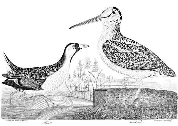 Woodcock Photograph - American Ornithology by Granger