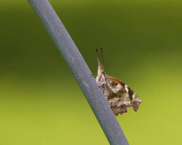 Snout Butterfly Photograph - American Snout Butterfly - Libytheana Carinenta by Kathy Clark