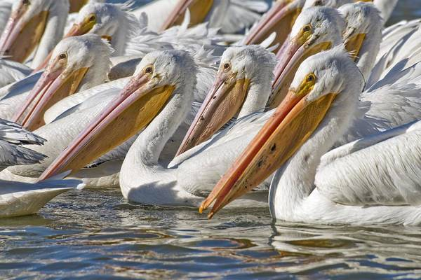 Wall Art - Photograph - American White Pelicans by Clay Coleman