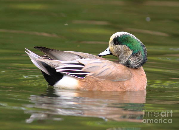 Duck Hunt Photograph - American Wigeon by Robert Frederick