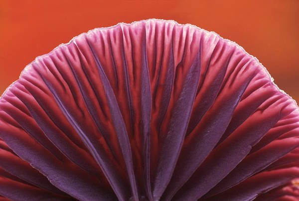Photograph - Amethyst Deceiver Gills by Jan Vermeer