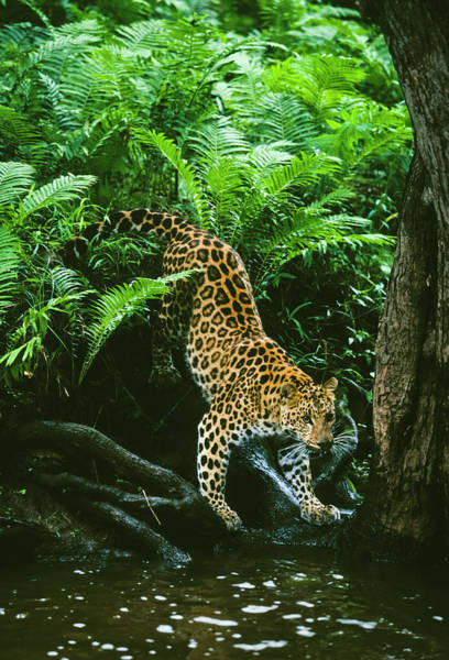 Photograph - Amur Leopard by D Robert Franz