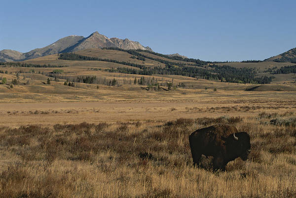Electric Peak Wall Art - Photograph - An American Bison Standing by Tom Murphy