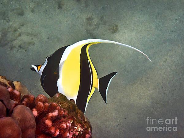 Photograph - An Idol-ized Reef Fish by Bette Phelan