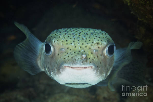 Balloonfish Photograph - An Inquisitive Porcupinefish, Bonaire by Terry Moore