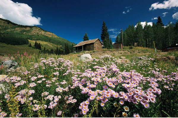 Lake Granby Wall Art - Photograph - An Old Miners Cabin With Purple Asters by Richard Nowitz