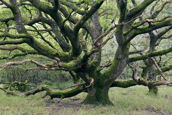 Royal Oak Photograph - Ancient Oak Tree (quercus Sp.) by Adrian Bicker