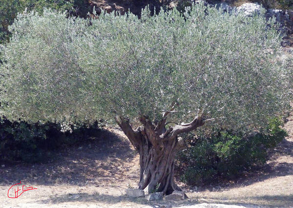 Photograph - Ancient Old Olive Tree In South France by Colette V Hera  Guggenheim
