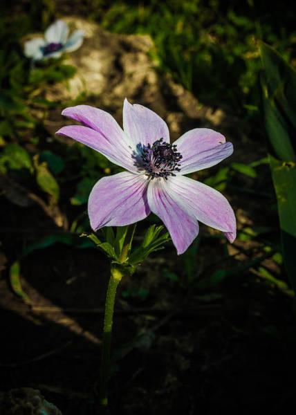 Photograph - Anemon Flower by Michael Goyberg