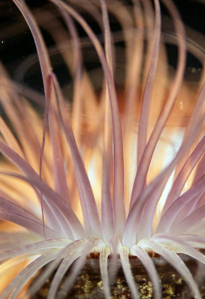 Tube Anemone Photograph - Anemone by Matthew Oldfield