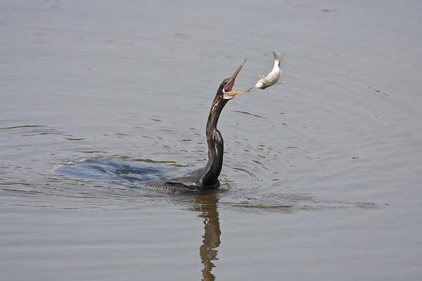 Terry Shoemaker - Anhinga Flipping Fish