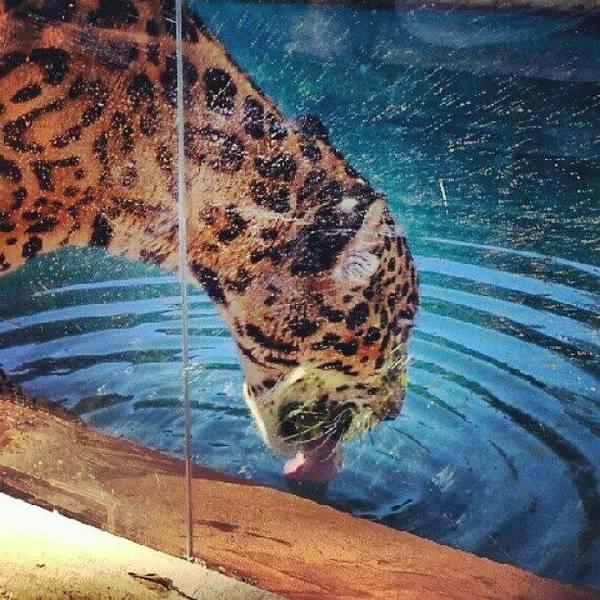 Jaguar Photograph - #animal #brazil #jaguar #onca #nature by Marcus Vinicius