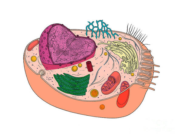 Photograph - Animal Cell Diagram by Science Source