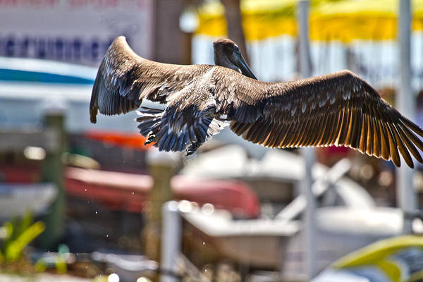 Brown Pelicans Photograph - Animals Humans by Betsy Knapp