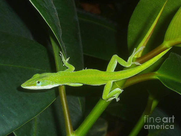 Wall Art - Photograph - Anole And The Green Stalk - Being Wary by Lucyna A M Green