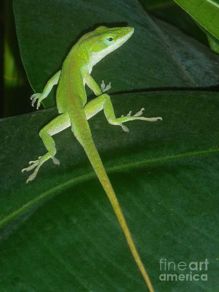 Wall Art - Photograph - Anole And The Green Stalk - Last Glance by Lucyna A M Green