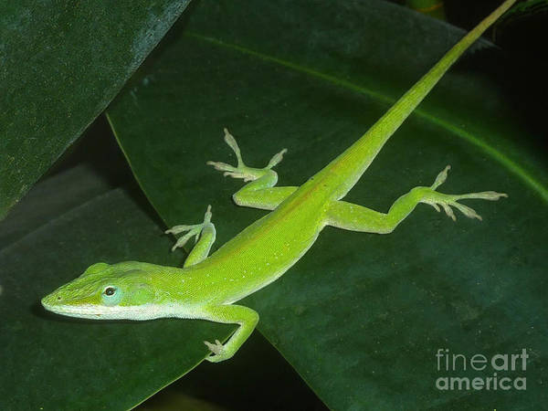 Wall Art - Photograph - Anole And The Green Stalk - Warming Up by Lucyna A M Green