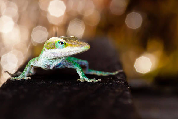 Brown Anole Wall Art - Photograph - Anole by Jim Finch