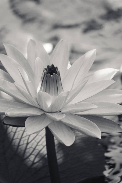 Photograph - Ansel's Lily by Trish Tritz